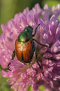Shiny bug on clover macro view of a green and brown beetle red head Royalty Free Stock Images