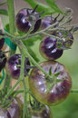 Shiny purple tomatoes on vine Stock Photos
