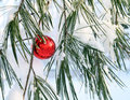 Shiny red xmas ball in a pine tree Royalty Free Stock Photography