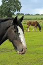 Shire Horse Royalty Free Stock Photo
