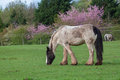 Shire horse a blue eyed grazing on a meadow Royalty Free Stock Photos