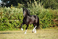 Shire Horse on evening meadow
