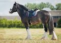 Shire horse under saddle on medow Royalty Free Stock Photography