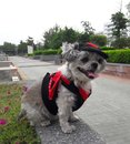 The dog in devil costume is traveling. Royalty Free Stock Photo