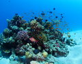 Shoal of anthias over coral bommie red sea pocilipora anemone clown fish congregate Royalty Free Stock Photos