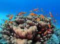 Shoal of Anthias over Goniopora Reef Red Sea Royalty Free Stock Photo