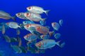 Shoal of bigeye perches in the tropical waters the red sea Royalty Free Stock Images