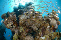 Shoal of fish and coral reef Royalty Free Stock Image