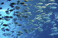 Shoal of fish crowd in a deep blue ocean water Royalty Free Stock Photos