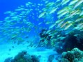 Shoal of fish and the diver Stock Image