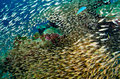 Shoal of glassfish golden sweepers in clear blue water Royalty Free Stock Image