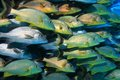Shoal of grunt fish underwater in the coral reef caribbean sea Royalty Free Stock Photos