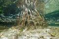 Shoal of juvenile fish swim near mangrove roots underwater ecosystem swimming caribbean sea belize Royalty Free Stock Photo