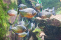 Shoal of piranhas side view a Stock Photo