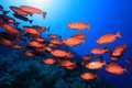 Shoal of red bigeye perches in the tropical reef the sea Royalty Free Stock Photography