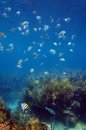 Shoal of sergeant major fish in martinique over a coral reef the caribbean sea Royalty Free Stock Photos
