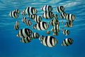 Shoal of tropical fish banded butterflyfish with water surface in background caribbean sea Stock Images