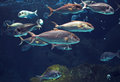 Shoal of tropical shiny silver fishes Royalty Free Stock Photo