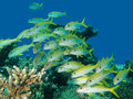 Shoal of yellow goatfish off the coaset hurghada egypt Stock Photo