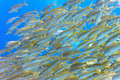 Shoal of yellowfin goatfish Stock Images
