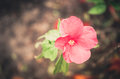 Shoe Flower or Hibiscus vintage Royalty Free Stock Photo