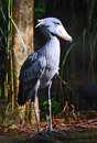 Shoebill Fotografie Stock