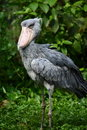 Shoebill bocian Obraz Royalty Free