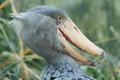 Shoebill the head of adult Royalty Free Stock Image