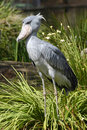 Shoebill Heron Royalty Free Stock Photo