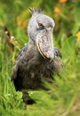 Shoebill in the Wild - Uganda, Africa Royalty Free Stock Image