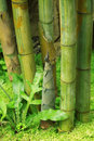 Shoot of Bamboo Royalty Free Stock Images
