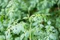 Shoot of tomato plant Royalty Free Stock Photo