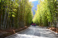 Shooting china s yunnan kunming scenic area bamboo forest Royalty Free Stock Photo
