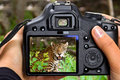 Shooting jaguar in wildlife Royalty Free Stock Images