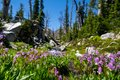 Shooting star purple wildflowers at the base of a creek along the Sawtooth Lake trail in Idaho