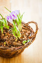 Shoots of spring crocuses in a basket Royalty Free Stock Photography