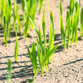 Shoots of wheat closeup