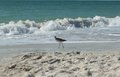 Shore bird outruns the breaking waves in south florida Stock Photography
