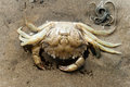Shore crab skeleton of dead carcinus maenas on the sand at low tide of the wadden sea netherlands Stock Photography