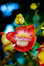 Shorea robusta close up flower plants in india Royalty Free Stock Photos