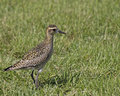 Shorebird the pacific golden plover is a which winters and breeds in hawai i before returning to the arctic alaska during the Royalty Free Stock Photos