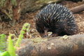 Short beaked echidna the eating Royalty Free Stock Photos