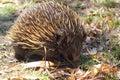 Short-beaked Echidna (Tachyglossus aculeatus)