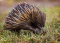 A short-beaked echidna Tachyglossus aculeatus walking on the g
