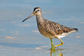 Short billed dowitcher walking in the marsh Stock Image