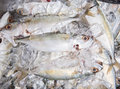Short bodied mackerel on ice vi fresh preserved cubes Stock Image