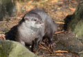 Short Clawed Asian Otter Stock Photos