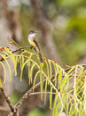 Short-crested Flycatcher under rain Royalty Free Stock Photos