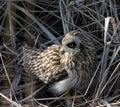 Short Eared Owl Royalty Free Stock Photo