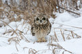 Short Eared Owl Stock Photo